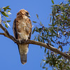 Little Eagle (Hieraaetus morphnoides)