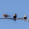White-backed Swallow(Cheramoeca leucosterna)