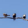 White-backed Swallow(Cheramoeca leucosterna)