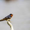 Welcome Swallow (Hiruno neoxena)