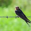 Welcome Swallow (Hiruno neoxena)