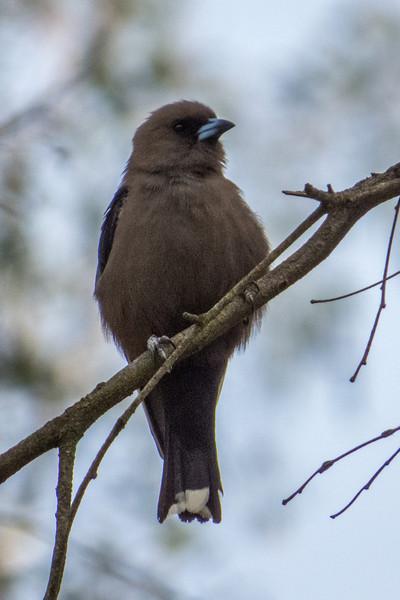 Dusky Woodswallow (Artamus cyanopterus)