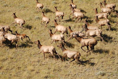 Aerial photo of elk  herd in Montana - Large Bull elk, cows and calves- Photography by Jim R Harris