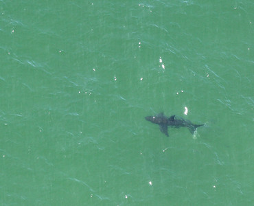 Great White Shark off the Coast of Chatham. See Image 100814AE-4386. Exact location of Shark is located slightly to the right (closer to shore) than boat. August 14, 2010