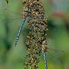 Brachytron pratense (Two Males)