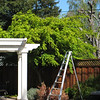 Before- Japanese maple with new arbor.