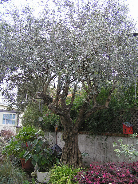 After - Olive tree untangled from vines on the fence and thinned for future shaping.