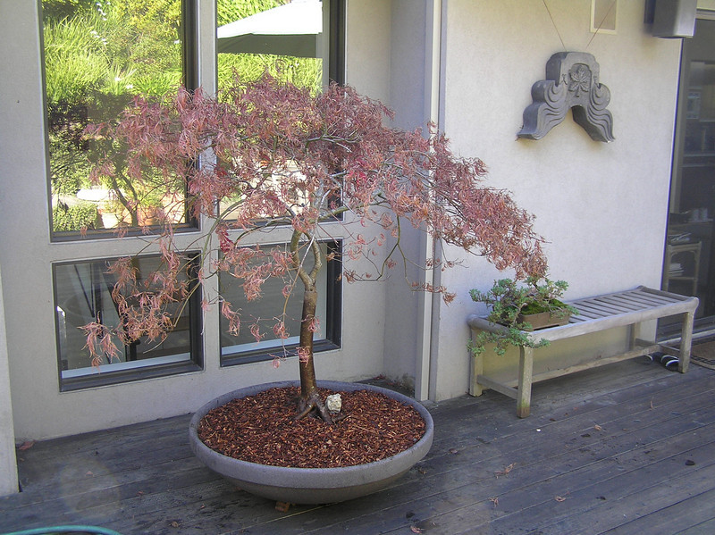 After- Beautiful container and the front of the tree is positioned for the best viewing.