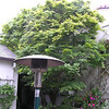 Japanese Maple (after)