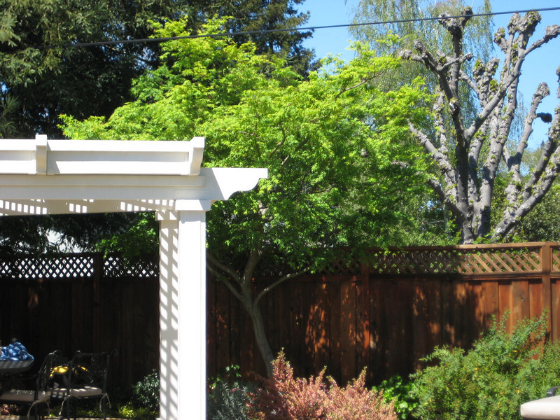 After- Japanese maple with the new arbor