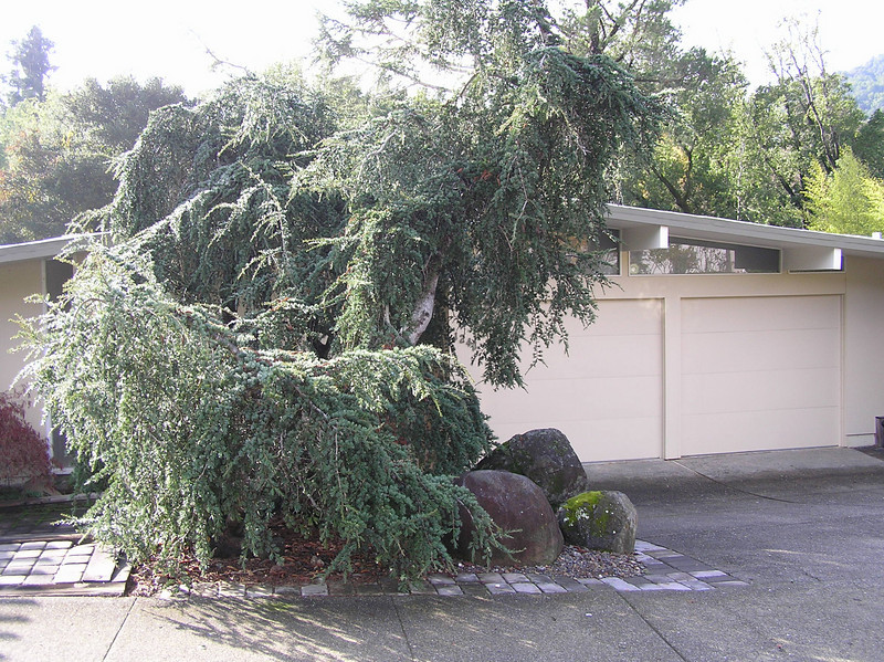 Before- Blue Atlas Cedar. This is actually only one tree that has formed multiple trunks.