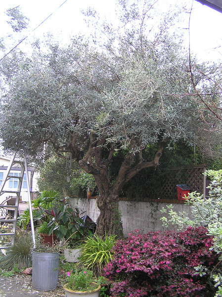 Before- Olive Tree in Berkeley