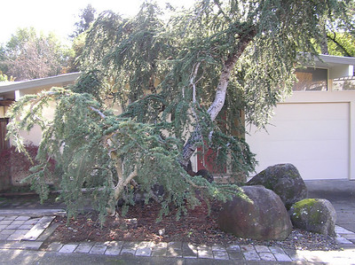 After- Blue Atlas Cedar in phase one of pruning to highlight the different trunks and open it up to the front of the house.
