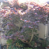 Before- Japanese Maple in a courtyard