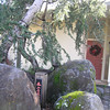 After- Blue Atlas Cedar in front of an Eichler home.  Pruned to take advantage of large rock work.