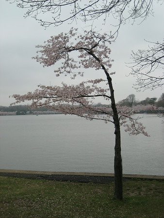 Washington DC Cherry Tree, Aril 2009