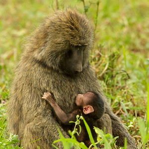 Baboons - Mother and baby