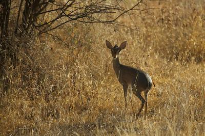 Dik Dik - female - Sambura Game Preserve, Kenya