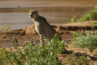 Cheetah with butterfly.