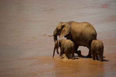 Mother Elephant with twins
