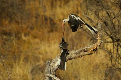 Red Billed Hornbills - juvenile, males.