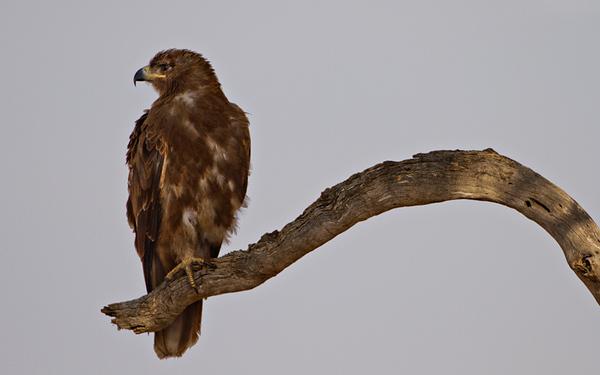 Tawny Eagle small.jpg