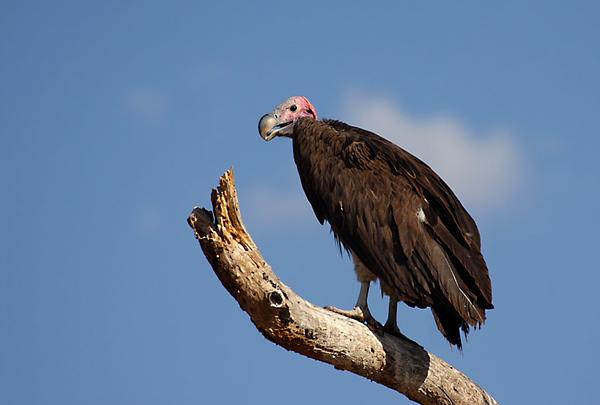 Lappet-faced vulture, Torgos tracheliotus