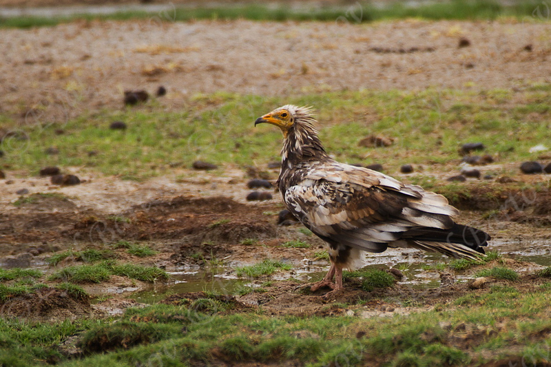 Egyptian vulture, Neophron percnopterus רחם מצרי