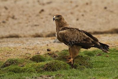 Tawny eagle, Aquila rapax עיט הסאוונה