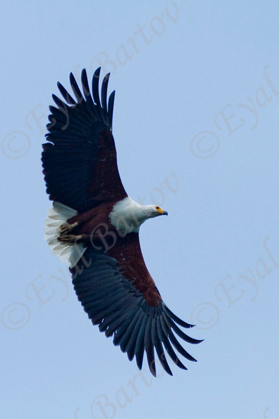 African Fish Eagle (Haliaeetus vocifer)