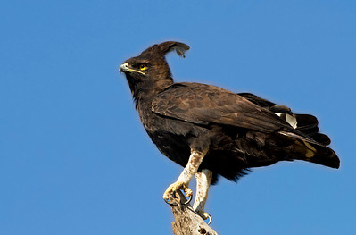 long-crested eagle (Lophaetus occipitalis)