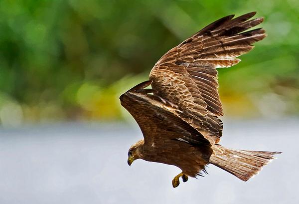 דיה צהובת מקור Yellow-billed Kite (Milvus aegyptius)
