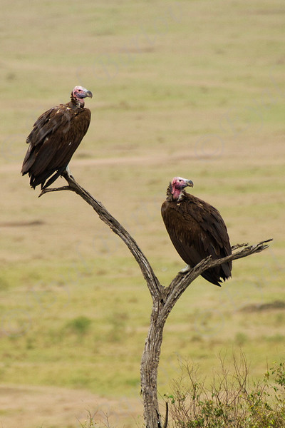 Lappet-faced vulture (Torgos tracheliotos)
