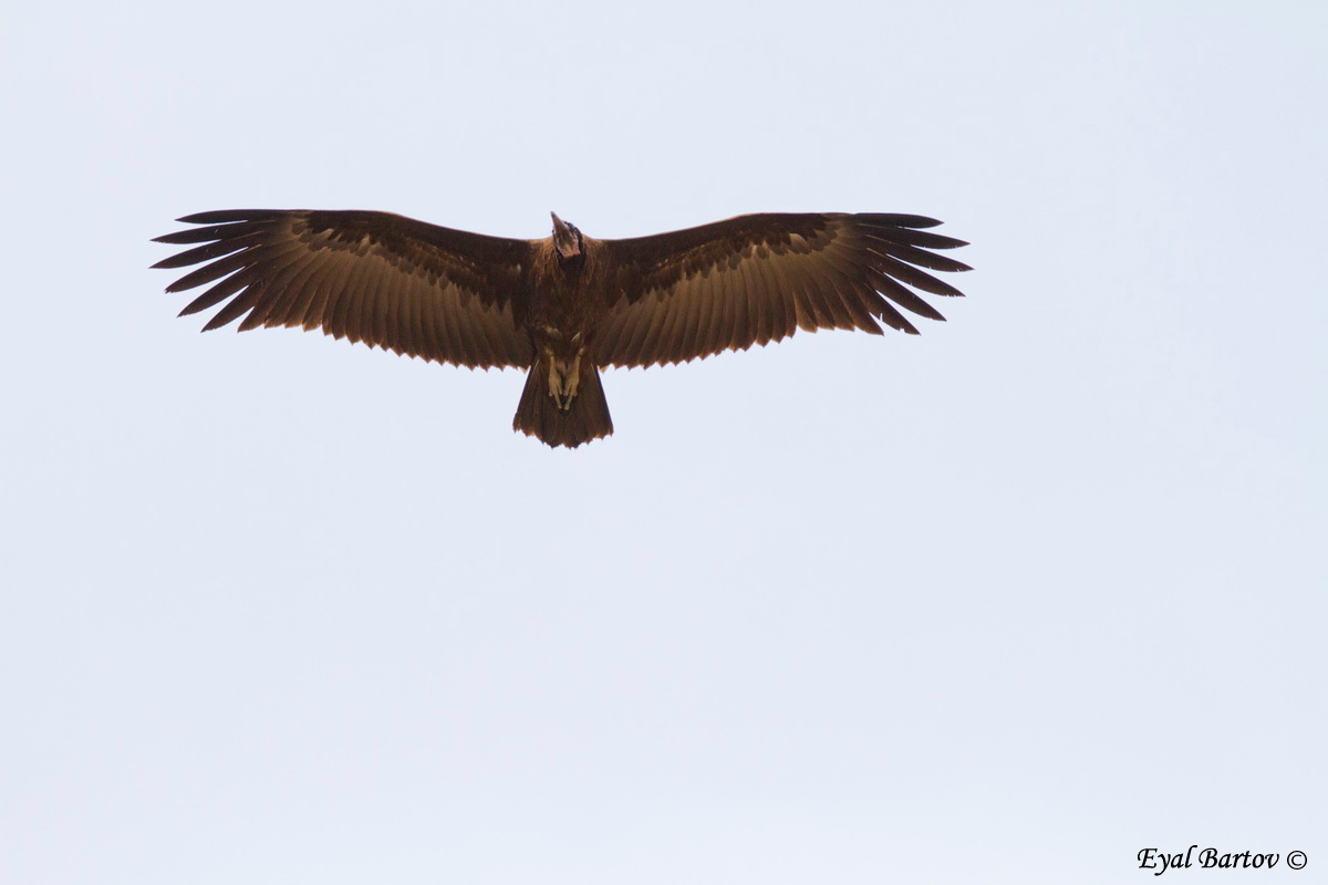 Hooded vulture, Necrosyrtes monachus - רחם הכיפה
