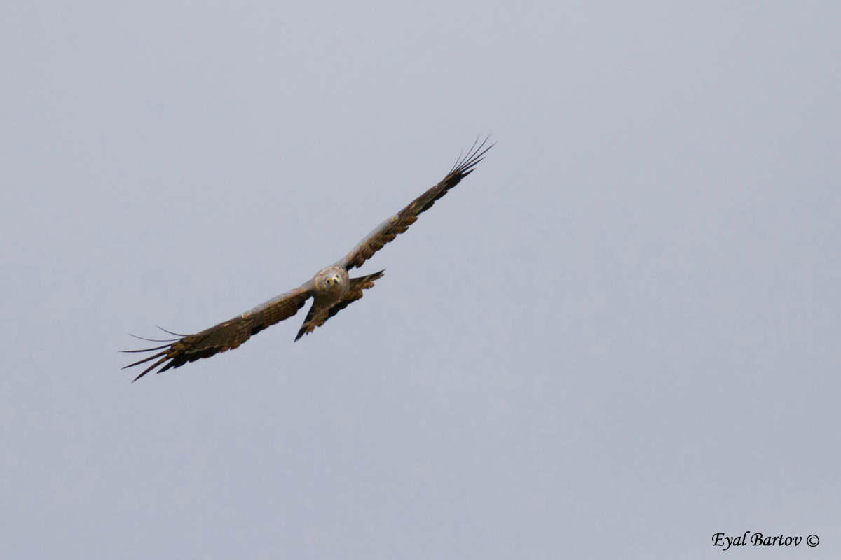 African harrier-hawk, harrier hawk, or gymnogene (Polyboroides typus)
