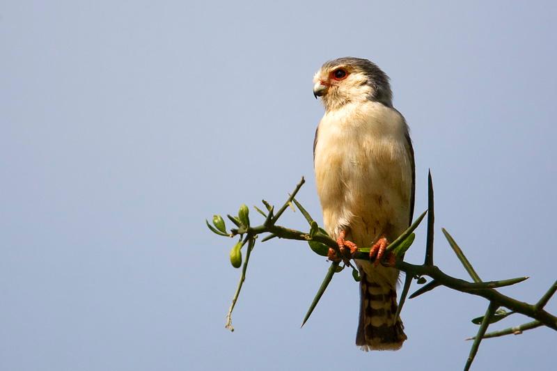 Pygmy Falcon (Polihierax semitorquatus)