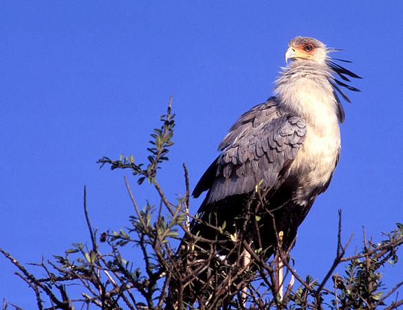 Secretary-bird, Sagittarius serpentarius