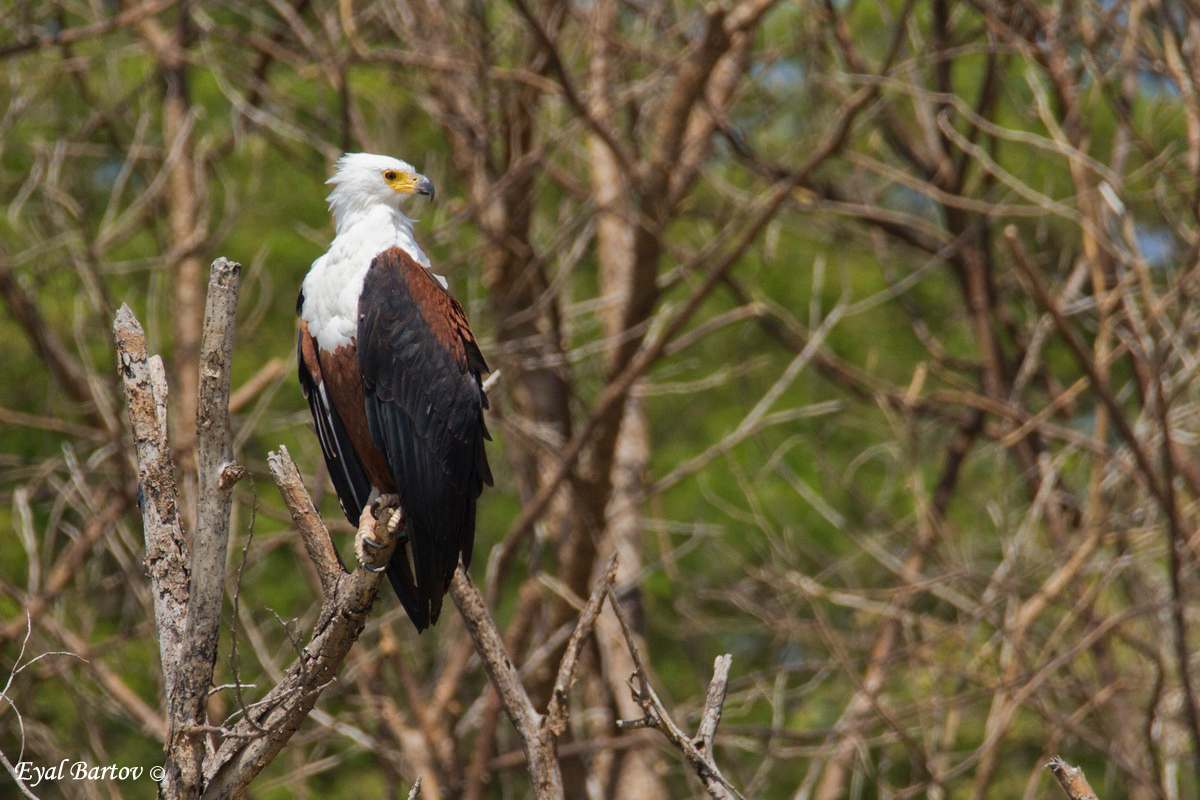 African Fish Eagle (Haliaeetus vocoder) עיטם קולני