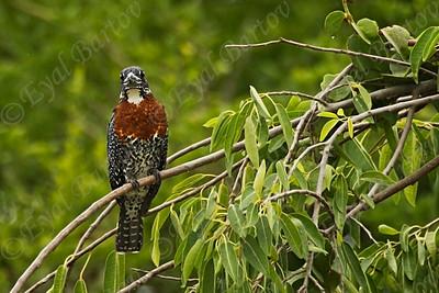 Giant Kingfisher, Megaceryle maxima