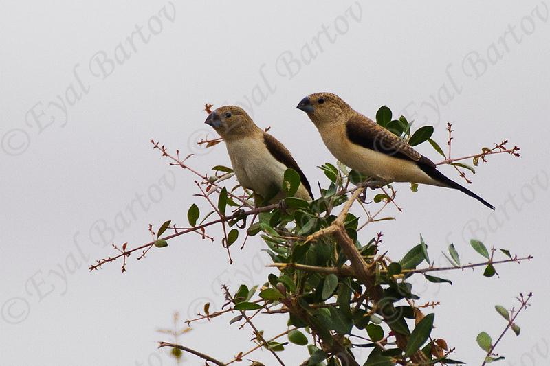 African Silverbill -