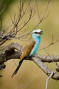 Racket-tailed Roller (Coracias spatulatus) Kenya