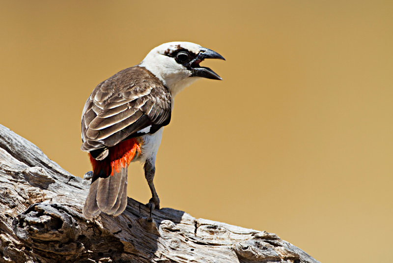 White -Headed Buffalo Weaver