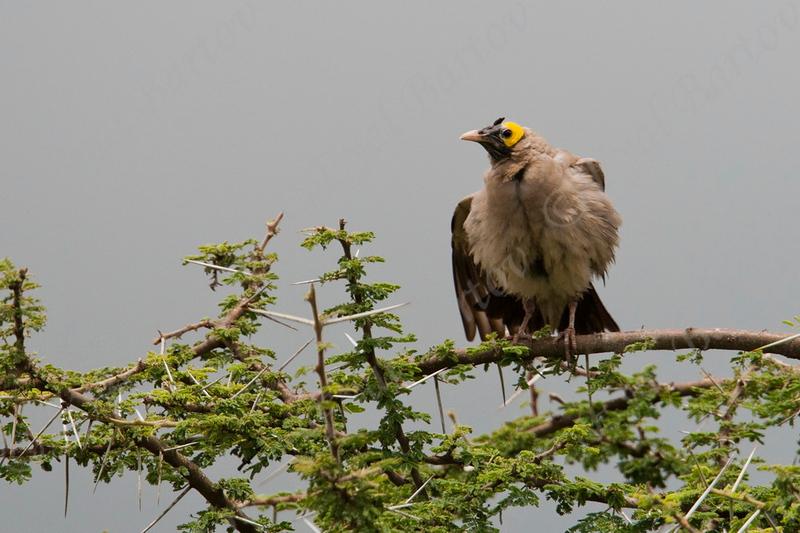 Wattled Starling_serengeti