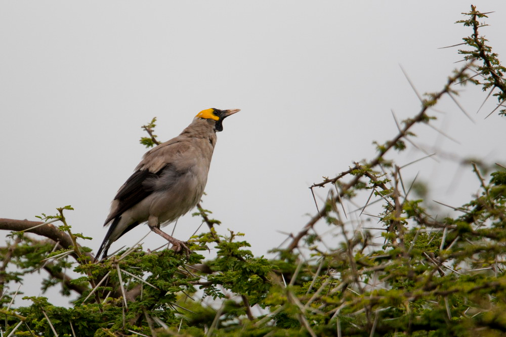 Wattled Starling (Creatophora cinerea)   serengeti