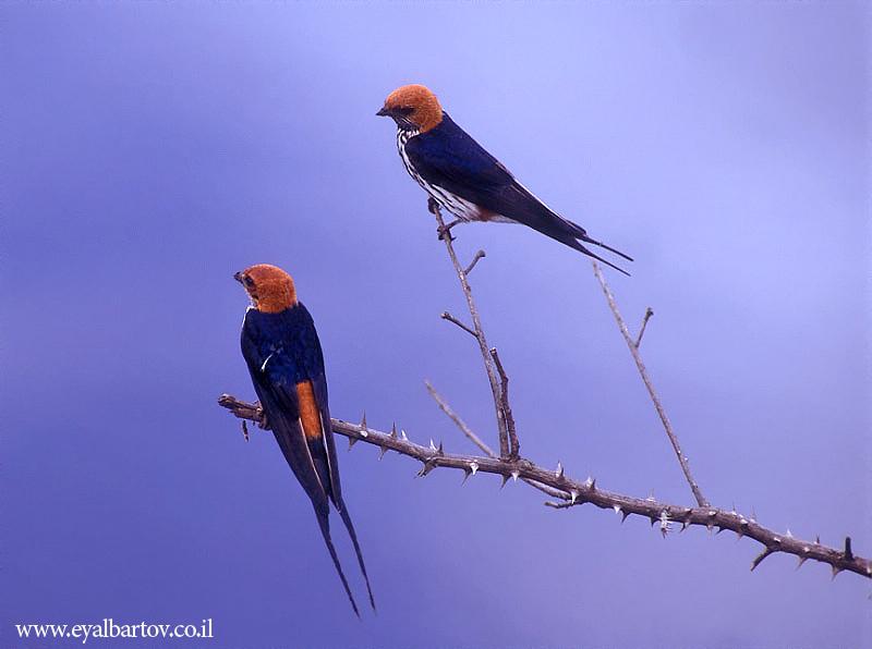 Striped swallow