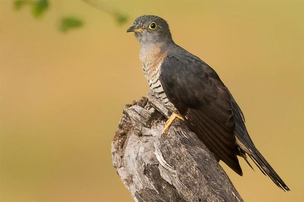 Red-Chested Cuckoo_Tarangiri Tanzania_febr_Eyal Bartov 4.jpg