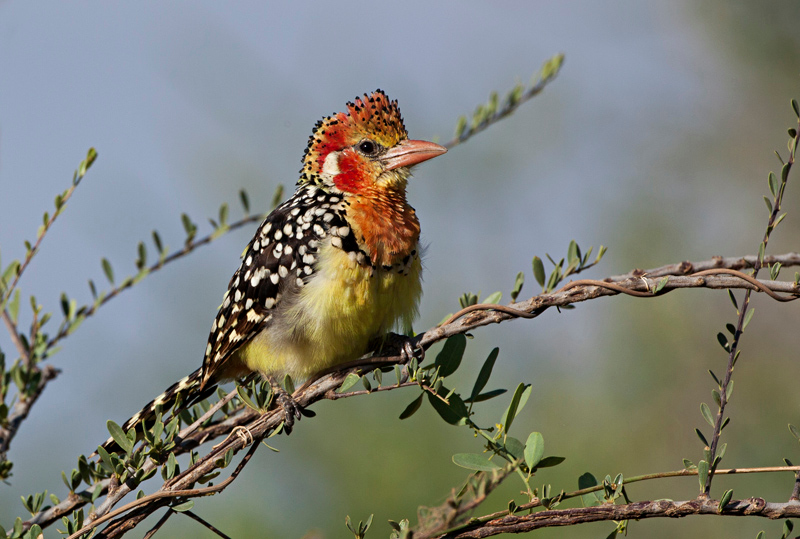 Red-and-yellow Barbet Trachyphonus erythrocephalus