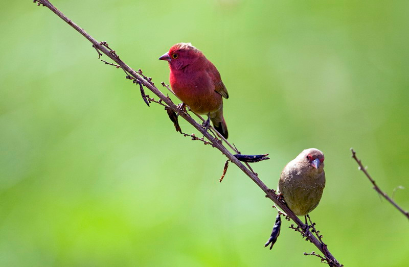 Red -Billed Firefinch ( Lagonosticta senegala ruberrima)