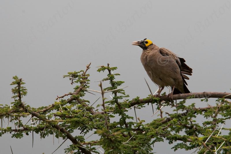 Wattled Starling (Creatophora cinerea)   serengeti