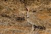 Crested Bustard (Eupodotis gindiana)